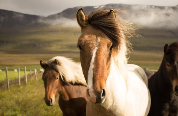 Icelandic ponies on th Godafoss daytour